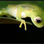 10-glasfrosch-glassfrog