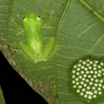 Glass frog with nest