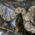 Young animal of (Bothrops asper )