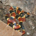 Real Coral Snake