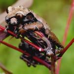 Kronen Frosch  Anoteka spinosa