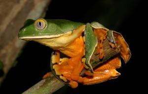 Cruziohyla,calcarifer
