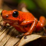 berry Dart Frog / Oophaga pumilio)