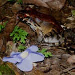 leptodactylus2