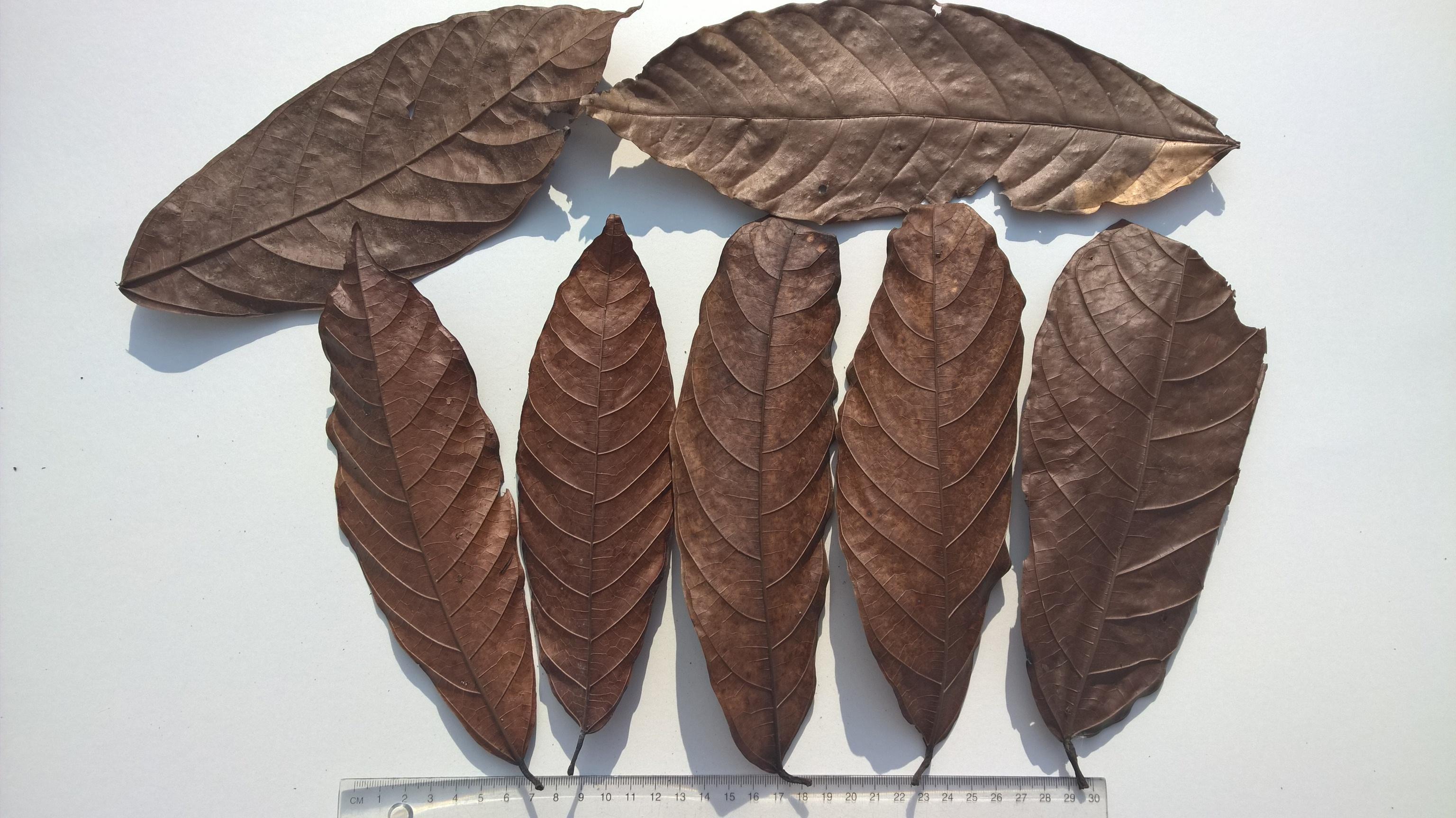 Fabelhaft Kakao Blätter Theobroma cacao 75 Stück - Redfrogteam &ZM_53